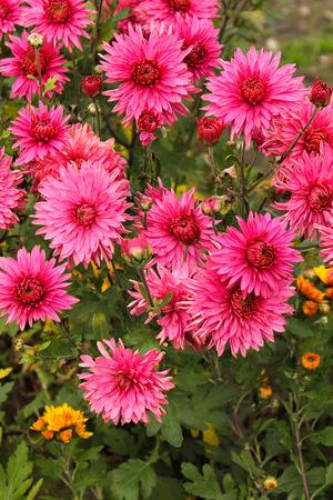 Flower chrysanthemum in autumn garden. Modern photography