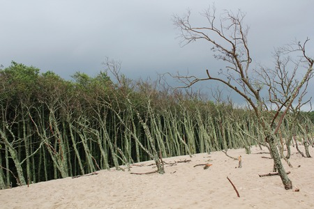 Death trees in the sand desert, moving dunes near Leba, Poland, Slowinski park