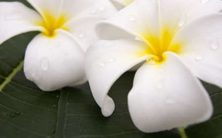 Two Frangipani flowers fresh photo