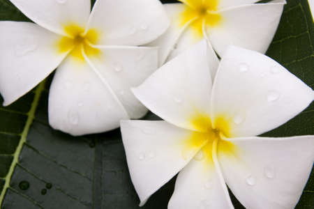 Frangipani flowers fresh Stock Photo - 12962731