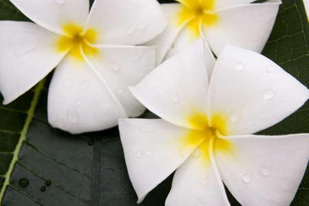 Frangipani flowers fresh Stock Photo - 12962731