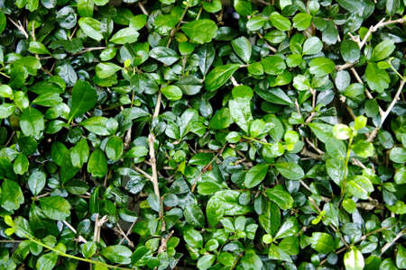 Green  foliage texture Stock Photo - 13139356