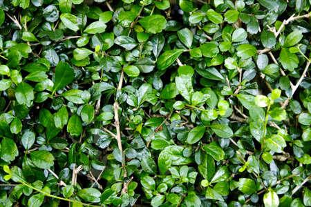 Green  foliage texture Stock Photo - 13139356