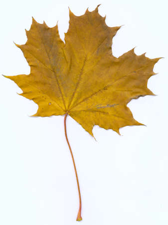 maple leaf (front)