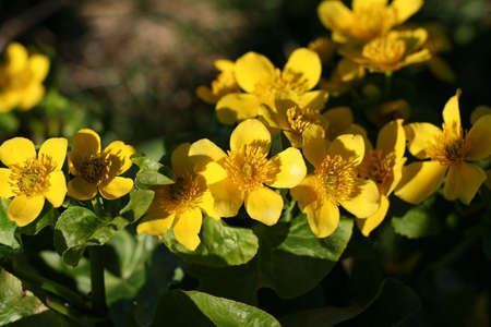 yellow flowers of Caltha palustris