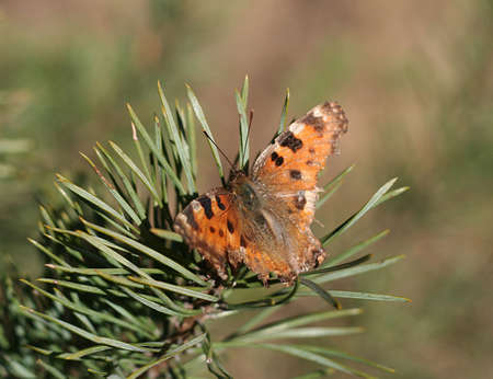 Old Large Tortoiseshell butterfly sitting on a pine branch in a spring sun. Stock Photo