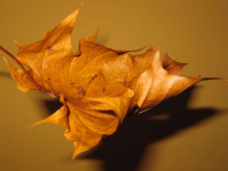 Unusual view of dry maple leaf. Soft focus and dramatic lighting. Stock Photo