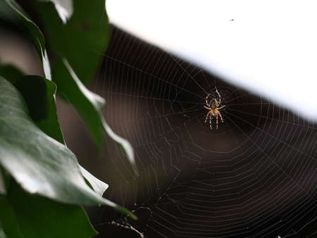 Cross spider on its web in a garden. (1 of 2) Stock Photo