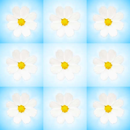Blue background with white Cosmos flowers