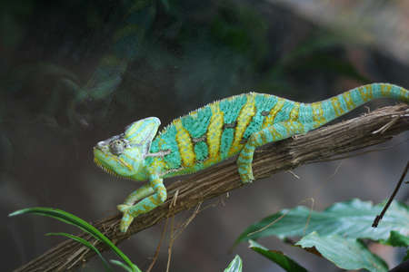 Green and yellow chameleon on a branch in a zoo