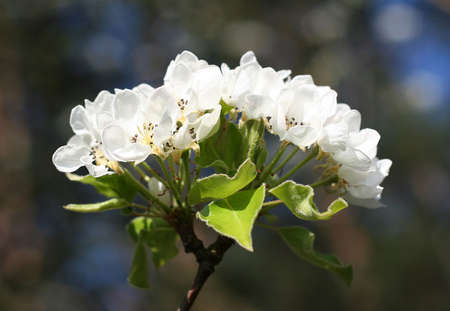 Blooming pear tree. Single branch with white flowers.