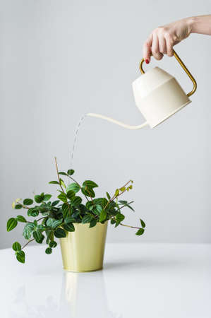 Hand watering from a watering can home plant in a gold pot