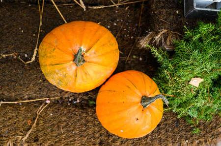large pumpkins on the counter, a beautiful farmer's farm. Porvoo, Finland. Imagens