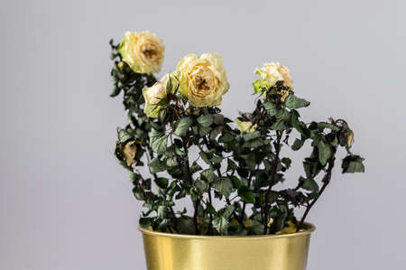 The concept of lack of time, home gardening. A dried rose in a gold pot on a gray background. Stock Photo