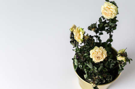 A dried rose in a gold pot on a gray background. Stock Photo