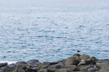 herring gull on ballast stones by the ocean. blue water background. Canary Islands, Tenerife.