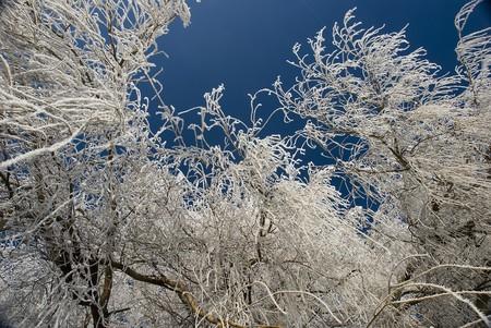 icey: ice tree