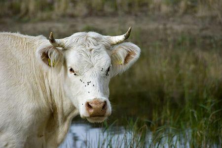 cud: bullcok