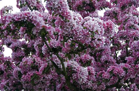 tree full with beautiful pink flowers Stock Photo - 4721346