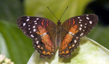 eyespot: butterfly in the butterflygarden in Goes,Holland