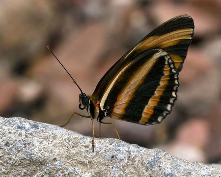 eyespot: beautiful butterfly in the butterfly garden in Goes, Holland Stock Photo