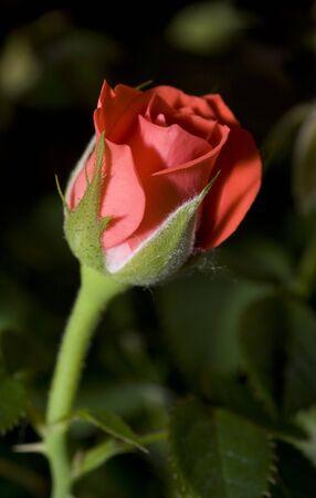 wonderfull: Imagen de un corzo rojo maravilloso con suavidad