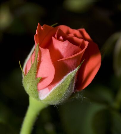 wonderfull: Image of a wonderfull red roe with softness Stock Photo
