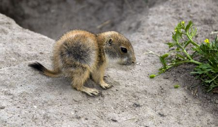 small butt: Cynomys, derives from the Greek for dog mouse Stock Photo