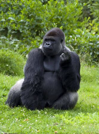 gorilla sitting and resting photo