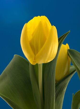 yellow dutch tulip Stock Photo - 6439630