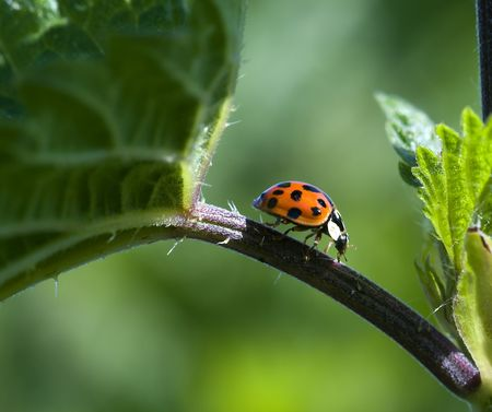Macro from a ladybird on a green leaf Stock Photo - 6533675