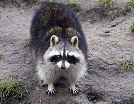 raccoon in the zoo in Holland Europe photo
