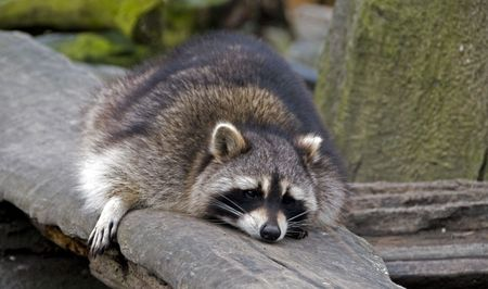 raccoon resting on the tree  photo