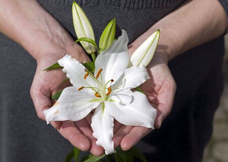 white lily in her hands as a present photo