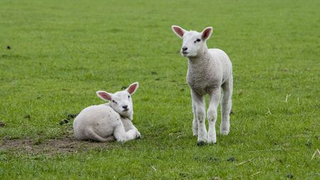 lamb in spring time in the field with green grass photo