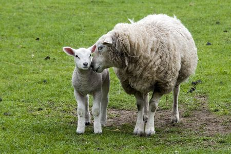 mother and young lamb cute photo