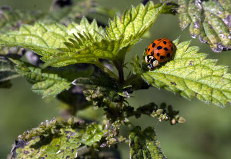 ladybird on green leaves in the summer Stock Photo - 8186473