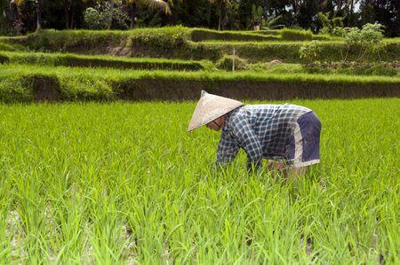 UBUD - 4 April 2011: woman working in rice fields sawa on April 4, 2011 on Ubud street on Bali, Indonesia Stock Photo - 9338370