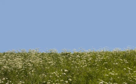 blue sky green grass and white flowers photo