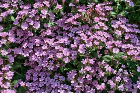 the pink flowering saponaria in garden