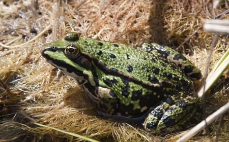 green frog macro photo
