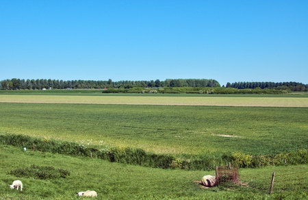 dutch landscape with sheep and blue sky and green grass photo
