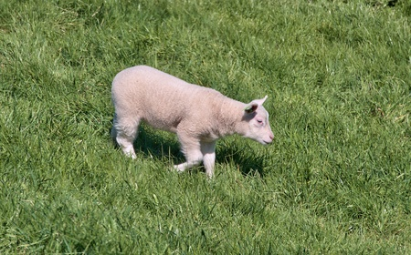 single sheep walking said alone photo
