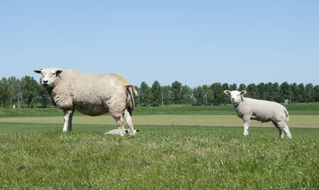 mother and young sheep Stock Photo - 9737280