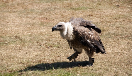 vulture looking for food in the desert photo