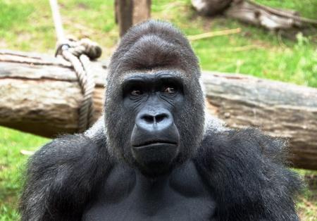 Gorilla Stock Photo - 9737297