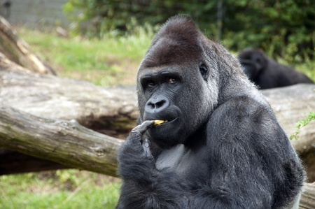 Male gorilla eating fruit in zoo Stock Photo