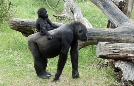 young baby gorilla riding on mothers back photo