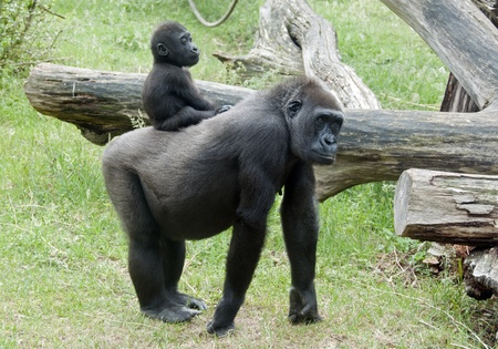 Baby Gorilla on back on mother photo