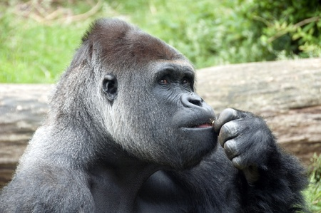 king kong: Gorilla with bown eyes thinking what to do